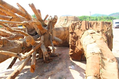Kiểm lâm kiểm tra chủng loại, nguồn gốc ba cây cổ thụ trên xe đầu kéo bị phạt gần 82 triệu đồng