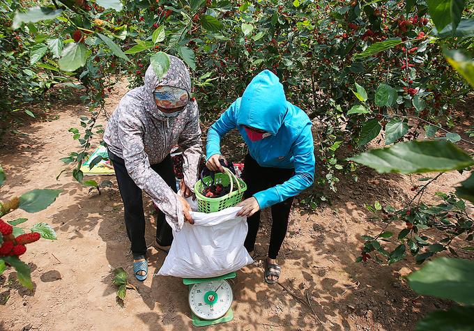 Nông dân Hà Nội vào mùa thu hoạch dâu chín