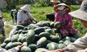 Được mùa dưa hấu, nông dân vẫn bất an với thị trường Trung Quốc