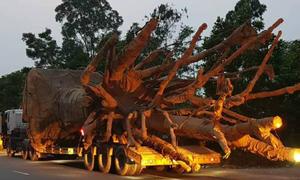 Chở cây khổng lồ, tài xế xe tải bị phạt 82 triệu đồng