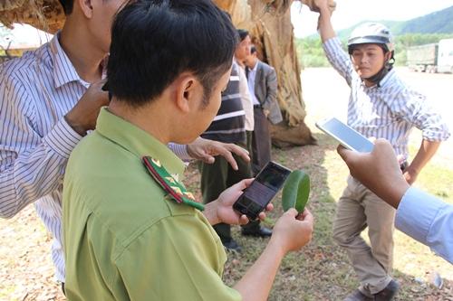 Căn cứ vào lá cây, kiểm lâm xác định ba cây cổ thụ có một cây là cây đa. Ảnh: Võ Thạnh.