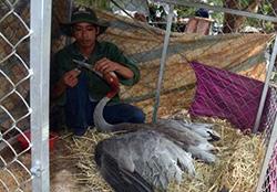 Cụ sếu được cứu chữa tận nhưng đã chết do già yếu. Anh: Nguyễn Nga