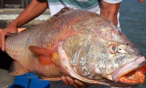 Bắt được cá nghi sủ vàng nặng 9 kg gần cảng Cái Mép