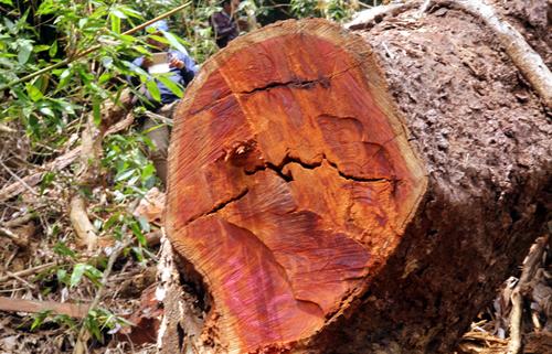 Cây gỗ lim xanh đường kính trên 1m thuộc sự bảo vệ của Ban lý rừng phòng hộ Nam Sông Bung, xã Chà Vafl, huyện Nam Giang bị đốn hạ. Ảnh: Đắc Thành.