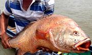 Ngư dân Bà Rịa - Vũng Tàu bắt được cá 9 kg nghi sủ vàng