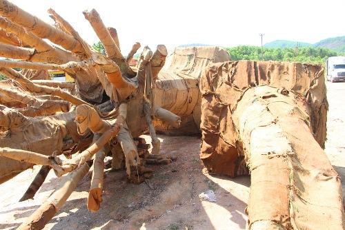 Phó thủ tướng yêu cầu làm rõ việc chở cây 'quá khổ, quá tải' trên đường
