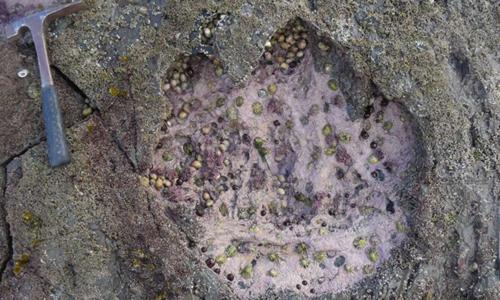Dấu chân lớn thuộc về khủng long chân thằn lằntrên đảo Skye. Ảnh:Paige dePolo.