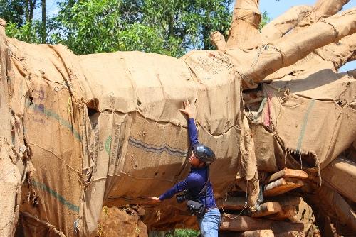 Kiểm lâm Huế: Ba cây cổ thụ 'quá khổ, quá tải' có hồ sơ đầy đủ