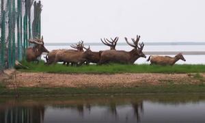 Trung Quốc thả tự do cho loài hươu tuyệt chủng trong tự nhiên