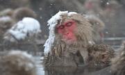 Khỉ tuyết Nhật Bản tắm suối nước nóng để giảm căng thẳng