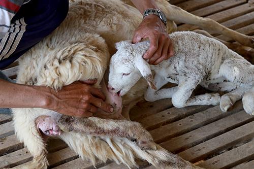 Cừu con bị đuối sức do thiếu thức ăn buộc người nuôi phải vắt sữa mẹ để chúng khỏe. Ảnh: Xuân Ngọc