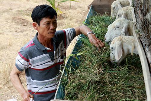 Ông Hùng mua cỏ với giá 70.000 đồng mỗi bao cung cấp thức ăn cho đàn cừu. Ảnh: