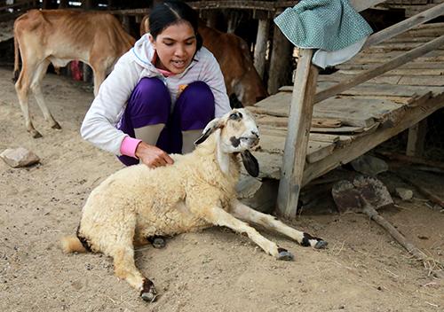 Cừu bị chết do suy kiệt trong thời gi