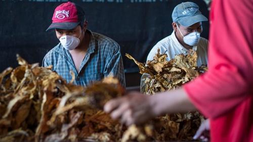 Nông dân trông cây thuốc lá tại các bang ủng hộ đảng Cộng hòa như Kentucky hay Bắc Carolina sẽ chịu ảnh hưởng nặng nề bởi biện pháp thuế mới của Trung Quốc. Ảnh: Alamy.
