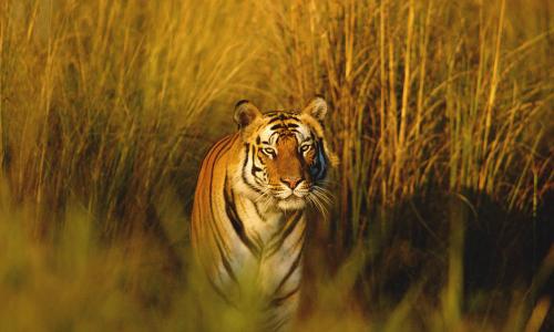 Hổ Bengal ở Ấn Độ. Ảnh: WWF