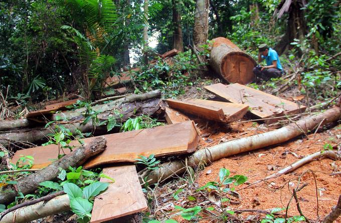 Nhiều cây gỗ to bị xẻ thịt trong khu bảo tồn ở Quảng Nam
