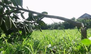 Vườn bưởi Phúc Trạch 4.000 m2 bị chặt hạ trong đêm