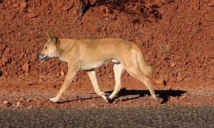 Loài vật khiến Australia xây hàng rào dài nhất thế giới