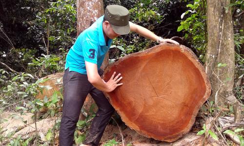 Nhiều cây gỗ to bị 'xẻ thịt' trong khu bảo tồn ở Quảng Nam