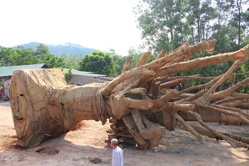 Ba cây cổ thụ vẫn đang nằm tại bãi đất trống trên đường tránh Huế. Ảnh: Võ Thạnh.