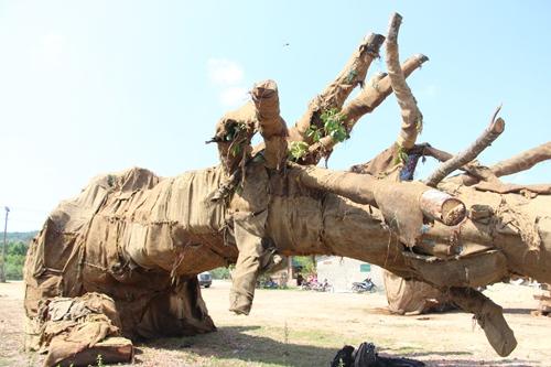 Hai cây cổ thụ được xác định là cây đa sộp. Ảnh: Võ Thạnh.