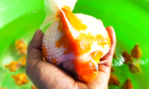 Cá Ping Pong 'siêu béo' thu hút người chơi ở Sài Gòn
