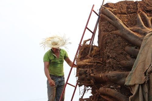 Một cây đa sộp đã được cắt tỉa bộ rễ. Ảnh: Võ Thạnh