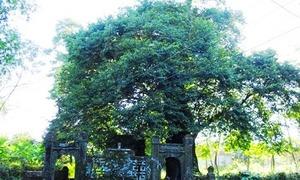 Cây thị gần 600 tuổi ở Thừa Thiên Huế