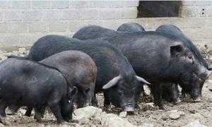 Lợn đen Mèo Vạc được thương lái săn đón