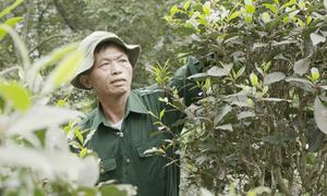 Cựu chiến binh 40 năm trồng chè rừng Đoỏng Pán