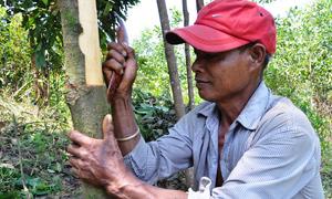 Nông dân dùng xương trâu bóc vỏ quế Trà Bồng
