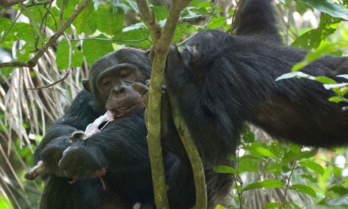 Tinh tinh đực ăn thịt khỉ đỏ colobus trong công viên quốc gia Gombe. Ảnh: Ian C. Gilby.