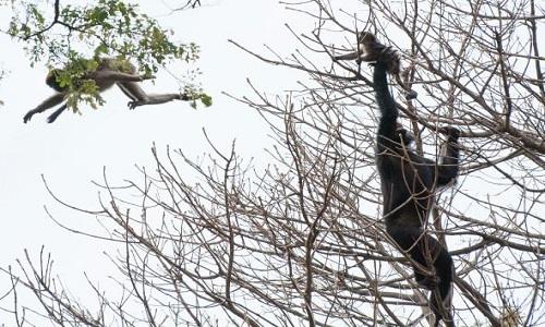 Tinh tinh vươn tay bắt một con khỉ đỏ colobus non trên cây. Ảnh: Ian C. Gilby.
