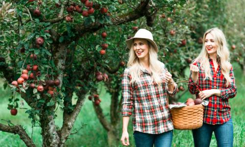 Hai cô gái hái được bao nhiêu quả táo?