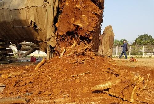 Ba cây cổ thụ quá khổ, quá tải được cắt tỉa để chở ra Hà Nội