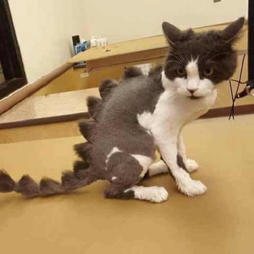 Mèo lai khủng long.