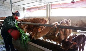 Nông dân vay vốn phát triển đàn bò trên cao nguyên đá
