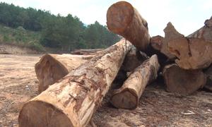 Phát hiện vụ vận chuyển gỗ không nguồn gốc lẫn trong gỗ tang vật