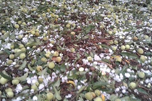 Mơ vào vụ thu hoạch rụng trắng vườn sau trận mưa đá. Ảnh: Nguyễn Hoa