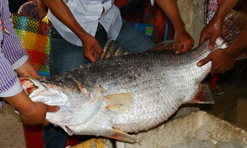Cá nặng 26kg nghi cá sủ vàng được ngư dân Bến Tre đánh lưới. Ảnh: Bến Tre