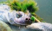 Loài rùa nguy cấp 'tóc xanh' chuyên thở qua lỗ huyệt