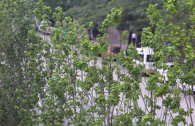 Cây phong ra lá xanh mướt trên phố Hà Nội