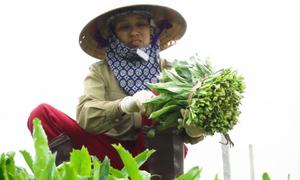 Nông dân chế nước vôi trong trị nấm cho 15 ha mùi tàu