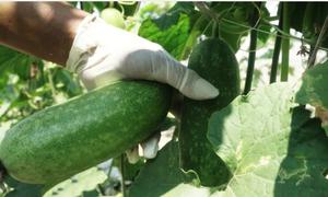 Nông dân Củ Chi trồng 60 tấn bí xanh không cần đất