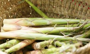 Rừng măng sặt rộng hơn 50 ha ở Yên Bái