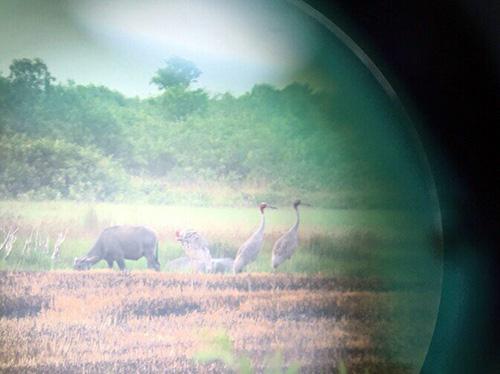 Gần 40 con sếu đầu đỏ quý hiếm về khu bảo tồn ở Kiên Giang