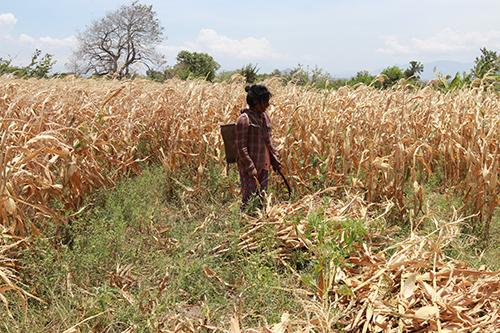 Người dân Ninh Thuận đối mặt tình trạng khô hạn, ruộng đồng khô cằn. Ảnh: Xuân Ngọc