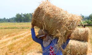 Nông dân miền Tây bán rơm kiếm tiền triệu