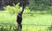Khỉ đột ném đá lên cây để xoài rụng