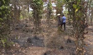 Điều tra nguyên nhân hơn 500 trụ tiêu cháy trụi ở Đăk Lăk